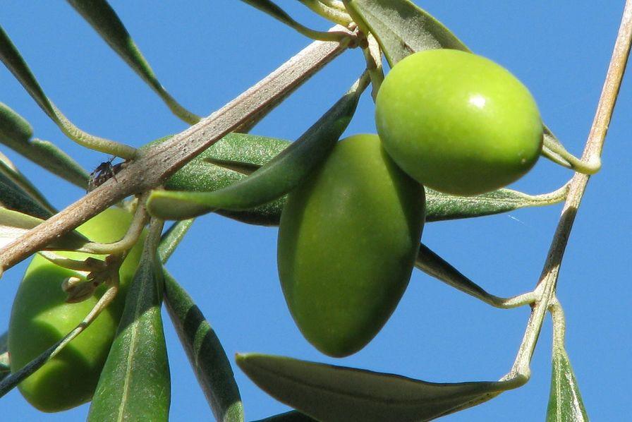 Pourquoi l'Union européenne propose de rémunérer le stockage privé d'huile d'olive