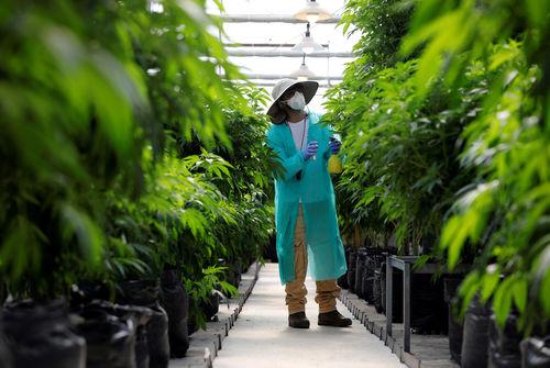 Le champion français du cannabis médical Green Leaf racheté par son concurrent EMMAC