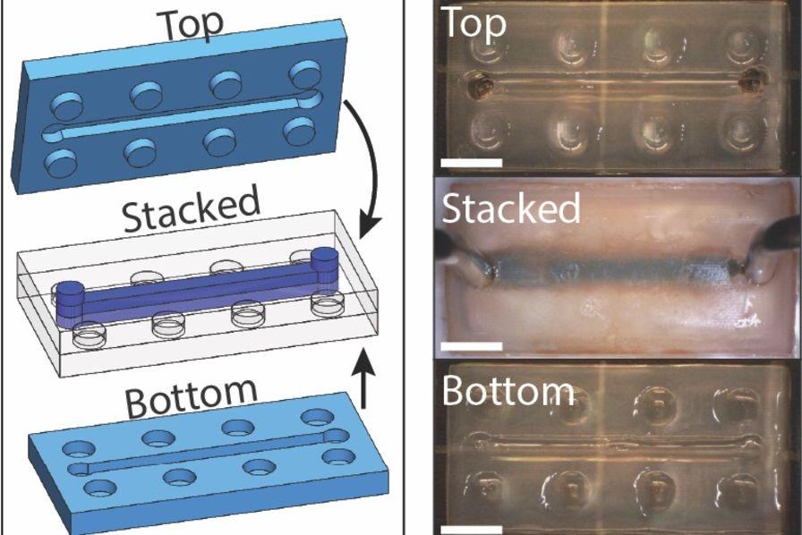 Un nouveau gel imprimé en 3D et auto-réparant ouvre des perspectives en microfluidique