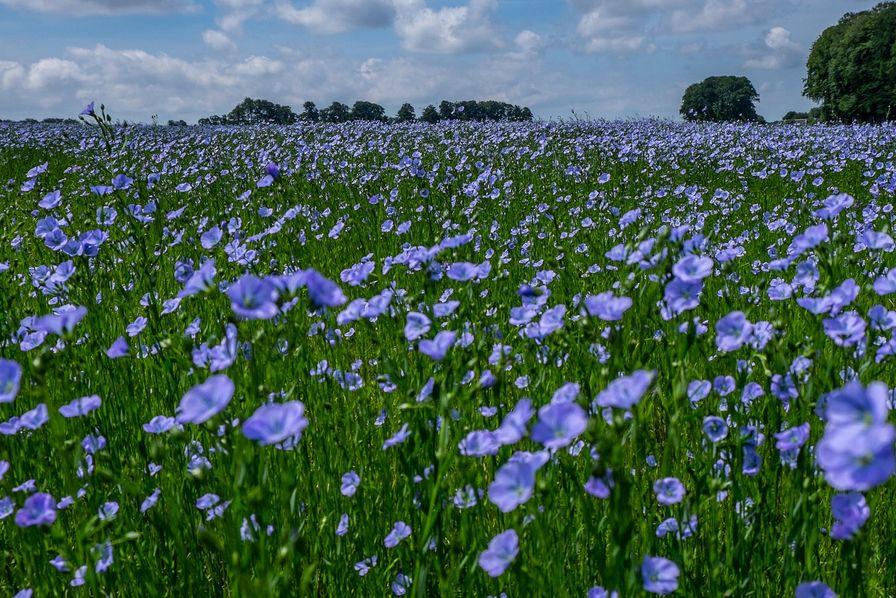 La fleur de lin - Emile Verhaeren 000325793_896x598_c