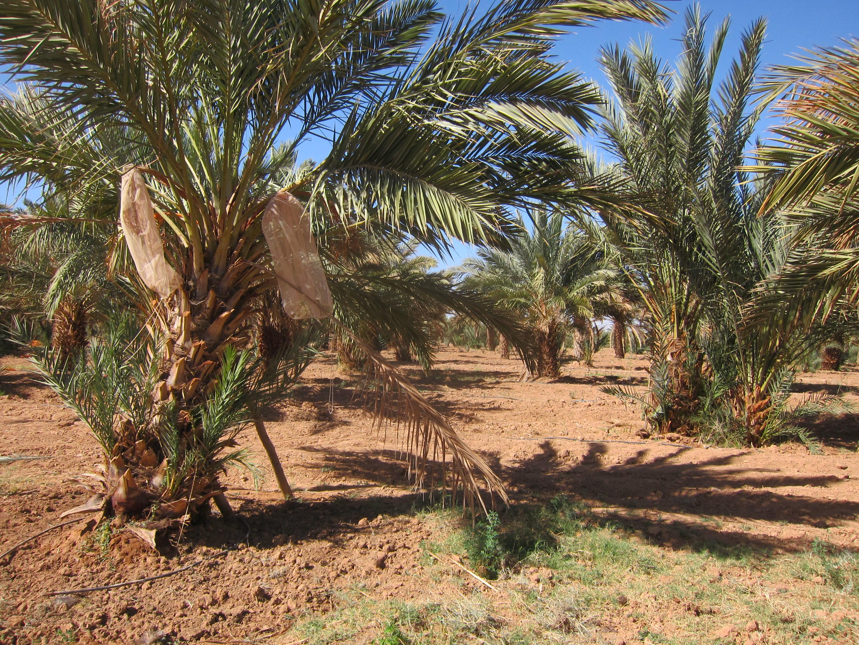 L or brun du d sert ou quand la datte du maroc se met l heure de l agri business l 39 usine maroc - Quand tailler un palmier ...