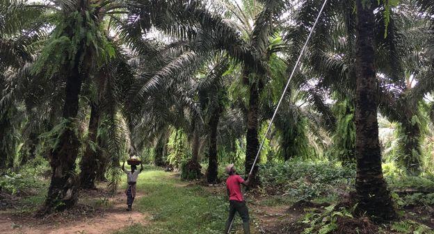 EDF approvisionnera localement sa centrale biomasse en Côte d'Ivoire