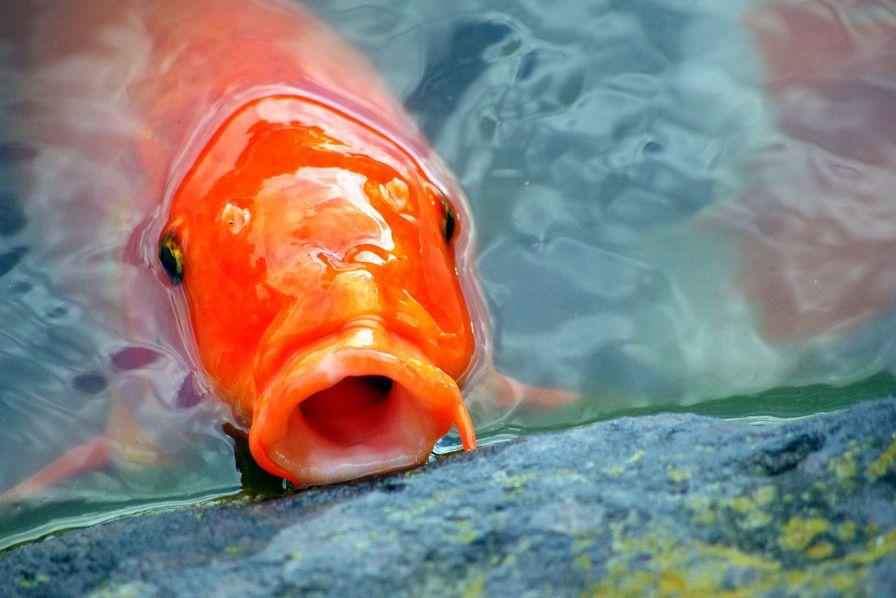 [L'industrie c'est fou] En attendant la voiture sans conducteur, voici l'aquarium pour poisson rouge autonome