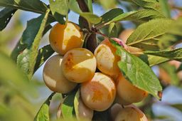 Vers un repli de la production de mirabelles en 2015
