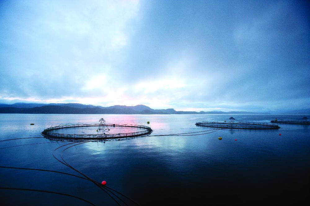 Le pou de mer ennemi du saumon norv gien l 39 usine - Prix du saumon ...