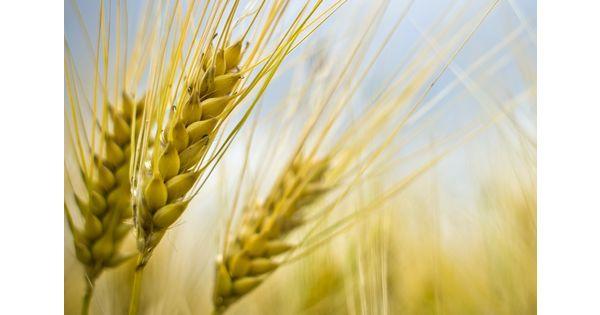 Le blé de la filière Culture raisonnée contrôlée sous la lumière